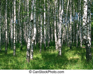 Birches 2858 - Birch grove, green grass, summer