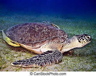 Green sea turtle - Sea turtle Chelonia mydas with pilot fish...