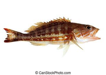 comber fish mediterranean serranus cabrilla