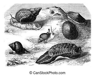 Common limpet, Wavy whelk, Reticulated net, Abalone ridged,...