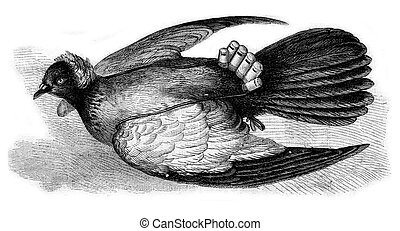Chinese Pigeon with whistle, vintage engraving.