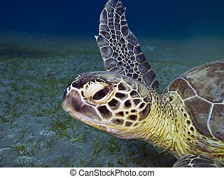 Head of green sea turtle - Green sea turtle Chelonia mydas...
