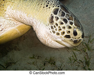 Green  turtle feeding at sea bottom