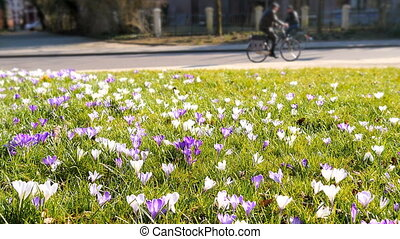 Crocus field bicycle rider park