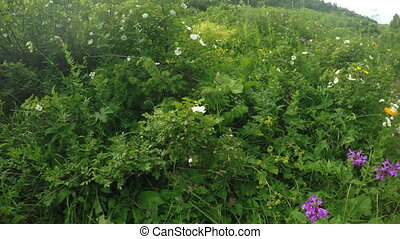 Flowering bushes of wild rose - Camera on wild rose bushes...