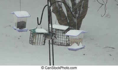 Feeding Blue Jays - Two Blue Jays feeding on suet during a...