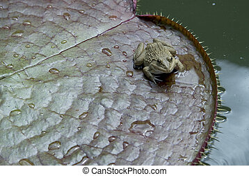 Small frog. - Small frog on lotus leaf.