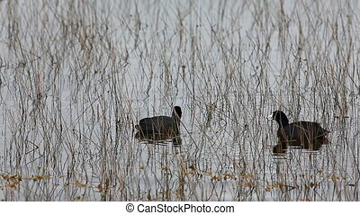 American Coot in Everglades - American Coot, Fulica...