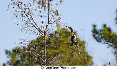Anhinga, Anhinga anhinga, perched on branch