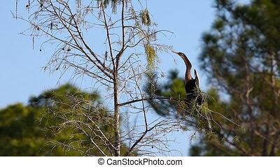 Anhinga on a branch - Anhinga, Anhinga anhinga, on a branch