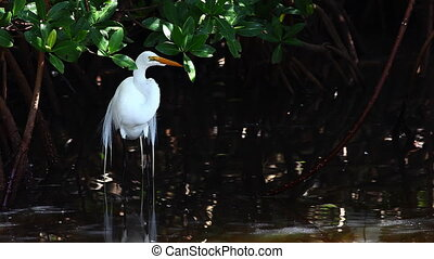 Great Egret in mangroves - Great Egret, Ardea alba, in...