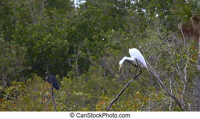 Great Egret and Little Blue Heron - Great Egret, Ardea alba,...