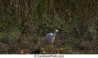 Little Blue Heron Juvenile hunting - Juvenile Little Blue...