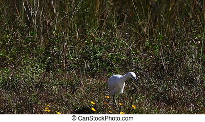 Juvenile Little Blue Heron, Egretta caerulea, hunting in...