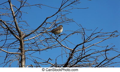 Northern Mockingbird in Everglades - Northern Mockingbird,...