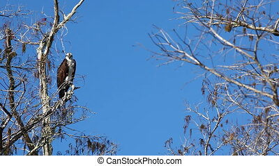 Osprey, Pandion haliaetus, perched in tree in the Everglades