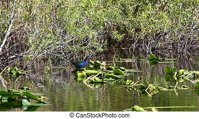 Purple Gallinule in Everglades marsh - Purple Gallinule,...