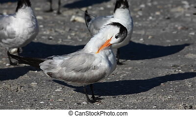 Royal Tern preening - Royal Tern, Thalasseus maximus,...