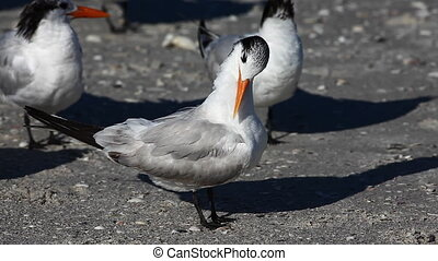 Royal Tern relaxing - Royal Tern, Thalasseus maximus,...