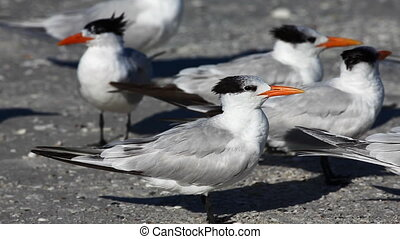 Group of Royal Terns - Group of Royal Tern, Thalasseus...