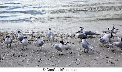 Royal Terns on the shore - Royal Terns, Thalasseus maximus,...