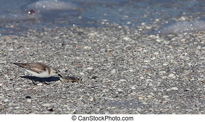 Sanderling feeding on the shoreline - Sanderling, Calidris...