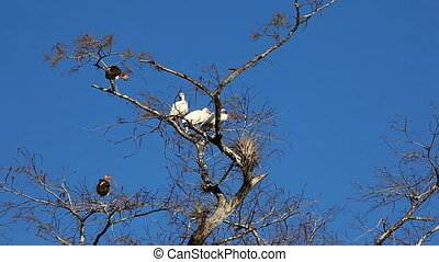White Ibis perched - White Ibis, Eudocimus albus, perched in...