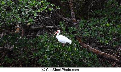 White Ibis in mangrove - White Ibis, Eudocimus albus, in...