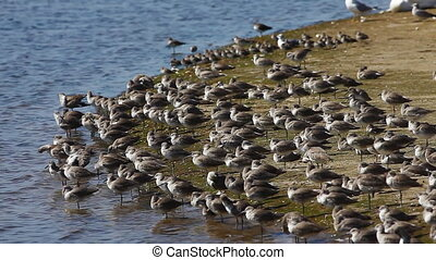 Willets resting on sandbar - Willet, Tringa semipalmata,...