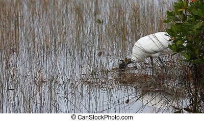 Wood Stork, Mycteria americana, feeding in marsh