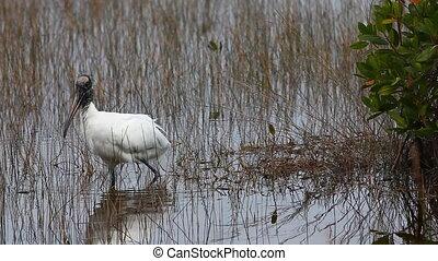 Wood Stork feeding - Wood Stork, Mycteria americana, feeding