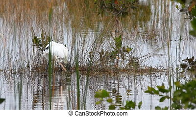 Wood Stork in marsh - Wood Stork, Mycteria americana, in...