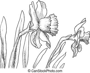 Narcissus flowers hand drawn style - Narcissus flowers in a...