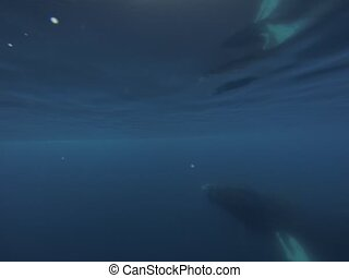 Two Humpback Whales under water - Humpback Whales under...