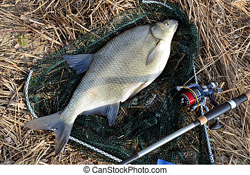 Fresh raw bream in springtime in landing net next to angling...