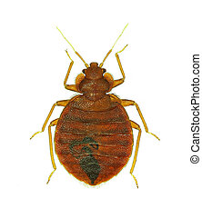 Bedbug (Cimex lectularius), human parasite, isolated on...