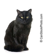adult black cat - black cat in front of white background