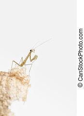 Praying mantis nymph - Close up of praying mantis nymph on...