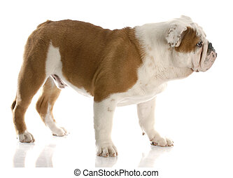 english bulldog puppy - five month old english bulldog puppy...
