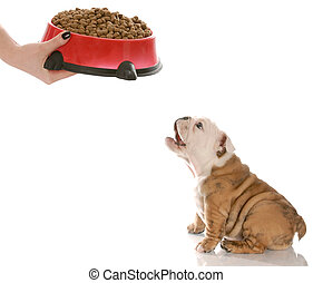 puppy waiting to be fed - english bulldog puppy barking in...