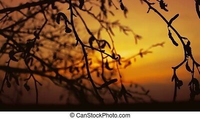 sunset branch nature - birch sunset silhouette branch tree...