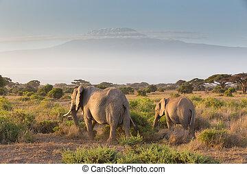 Elephants in front of Kilimanjaro, Amboseli, Kenya -...