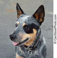 Australian Blue Heeler - Australian Cattle Dog with Black...