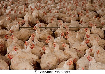 Many Chickens in Cot, South America, Peru