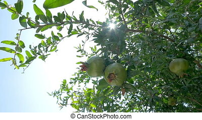 Pomegranate tree with green fruit - Slow motion low angle of...