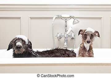 Two funny wet dogs in bathtub - Two different size terrier...
