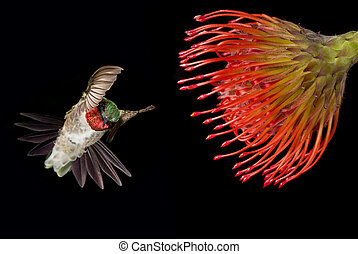 Tropical flower with Hummingbird over black background -...