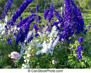 Delphinium - Russia Moscow City park Sokolniki The Big...