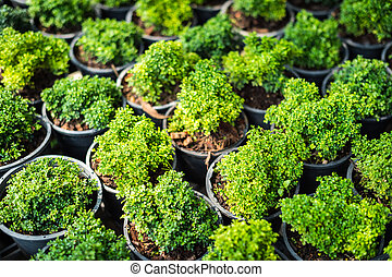 growth of plant in potted closeup, (Murraya paniculata (L.)...