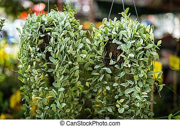 Dave plant in the garden closeup